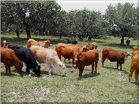 Examples of replacement Beefmaster heifers we have for sale.